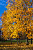Beautiful autumn trees. Autumn landscape. Royalty Free Stock Image