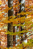 Beautiful autumn trees in a mountain forest. Vertical autumnal scene Royalty Free Stock Photo