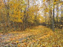 Path and colorful autumn trees, Lithuania royalty free stock images
