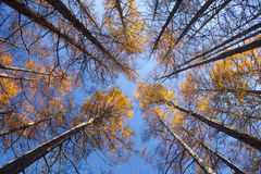 Beautiful autumn trees of pine forest Royalty Free Stock Photos