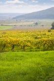 Beautiful autumn vineyard landscape Stock Photo