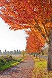 Beautiful autumn walkway with orange colored leaves. A nature walkway beside brilliant orange colored leaves on the autumn trees royalty free stock photo
