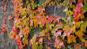 Beautiful autumn wall of red ivy leaves. Closeup of beautiful autumn wall covered with red ivy leaves stock video