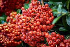 Autumn-winter decorative bush Pyracantha Coccinea. Beautiful autumn-winter bush with red small fruits.Natural fruit background royalty free stock photos