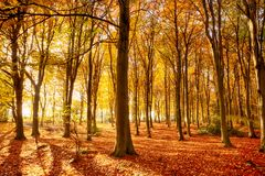 Beautiful autumn woodland colours in Norfolk stock images