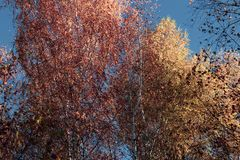 Beautiful autumn yellow birch forest in Russia stock images