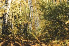 Beautiful autumn yellow birch forest in Russia stock image