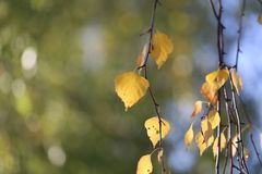 Beautiful Autumn Yellow Leaves On Birch. Royalty Free Stock Photography