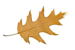 Beautiful Autumn. Yellow maple leaf Isolated Royalty Free Stock Photography