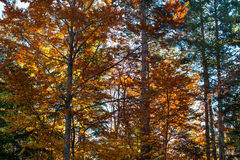 Beautiful autumn yellow orange trees in forest Royalty Free Stock Images
