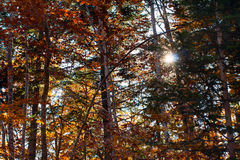 Beautiful autumn yellow orange trees in forest and Stock Photos