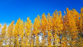 Beautiful autumn yellow trees and blue sky vivid colors nature plant and leaves fall. Forest royalty free stock image