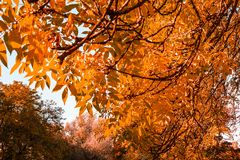 Beautiful, autumnal background with canopy of leaves. And branches stock image