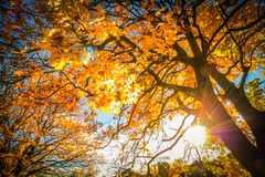 Beautiful, autumnal background with canopy of leaves and branches. And beams of sun royalty free stock photography
