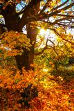 Beautiful, autumnal background with canopy of leaves and branches. And beams of sun stock image