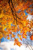 Beautiful, autumnal background with canopy of leaves. And branches stock photography