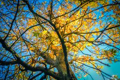 Beautiful, autumnal background with canopy of leaves and branches. And blue sky stock photos