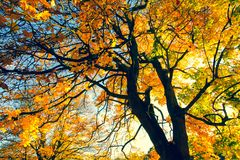 Beautiful, autumnal background with canopy of leaves and branches. Beautiful, autumnal background with canopy of maple leaves and branches and beams of sun royalty free stock photo