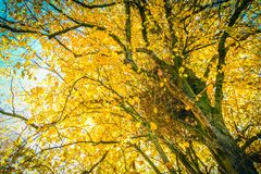Beautiful, autumnal background with canopy of leaves and branches. Beautiful, autumnal background with canopy of yellow leaves and branches royalty free stock images