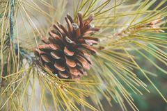 Beautiful Autumnal Background Single Pine Cone on Tree Branch in Forest. Warm Earthy Colors Brown Yellow Green. Cozy Fall. Atmosphere. Thanksgiving Gratefulness royalty free stock photo