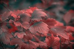 Beautiful autumnal bright guelder rose leaves branch. Shallow depth of field. Low key effect. Vintage dark toned fall composition. Copy space. Nature stock image