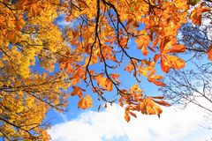 Beautiful autumnal chestnut tree leaves Royalty Free Stock Photography