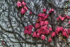 Beautiful autumnal dark pink leaves of ivy hedera helix plant clinging and climbing on the stone wall of building, Dublin, Ireland