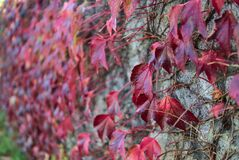 Beautiful autumnal dark red leaves of ivy hedera helix plant clinging and climbing on the wall, Dublin, Ireland. Red autumn leaves