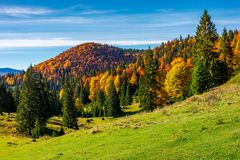 Beautiful autumnal landscape of Apuseni mountains. Colorful foliage on trees. tall spruce trees on the grassy hillside. mountain ridge far in the distance stock photography