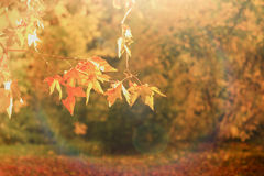 Beautiful autumnal leaves lit by sun light Stock Image