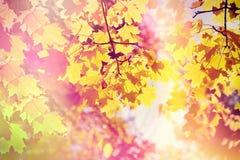 Beautiful autumnal leaves - treetop illuminated with autumn sun Stock Images
