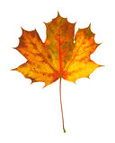 Beautiful autumnal maple leaf Stock Image