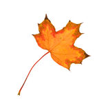 Beautiful autumnal maple leaf Royalty Free Stock Images