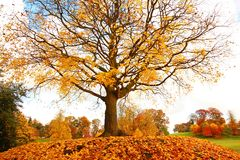 Beautiful, autumnal maple tree Stock Image