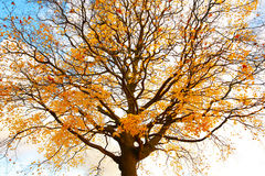 Beautiful, autumnal maple tree against the sky Stock Photography