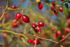 Beautiful autumnal shot of many ripe rose hips fruit with green leaves on