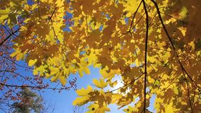 Beautiful autumnal tree and sunbeams. Beautiful yellow autumnal tree and sunbeams stock video