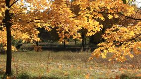 Beautiful autumnal trees and light breeze. Beautiful yellow autumnal trees and light wind stock footage
