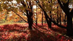 Beautiful autumnal trees and sunbeams stock video