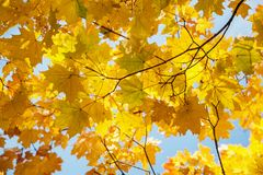 A beautiful Avenue of maple trees in autumn with yellow leaves. Royalty Free Stock Images