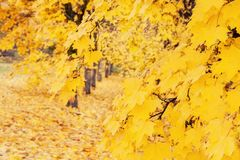 A beautiful Avenue of maple trees in autumn with yellow leaves. Royalty Free Stock Photos