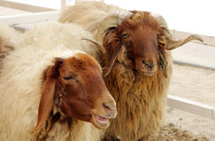 Beautiful awassi sheeps Royalty Free Stock Photography