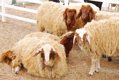 Beautiful awassi sheeps Royalty Free Stock Image