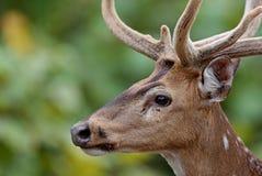 Beautiful axis deer in the nature habitat in India. Beautiful axis deer.Indian wildlife and tiger prey Royalty Free Stock Images