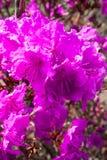 Beautiful azalea flower in a garden. stock photo