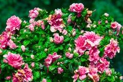 Beautiful azalea flower in garden. Beautiful azalea flower in the garden stock images