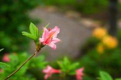 The beautiful azaleas. A close-up of the beautiful azaleas Royalty Free Stock Photo