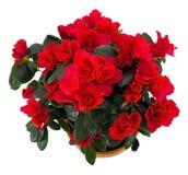 Beautiful azalian flower Stock Photos