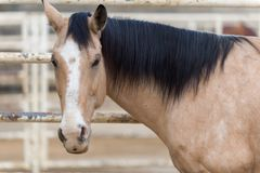 Beautiful Azteca buckskin horse in pen Royalty Free Stock Images