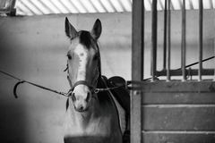 Beautiful Azteca horse in cross ties, black and white Stock Photography